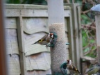 Goldfinches3Nr hSh Medium