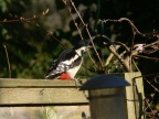 GreatSpottedWoodpecker2