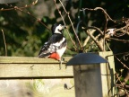 GreatSpottedWoodpecker3