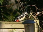 GreatSpottedWoodpecker5