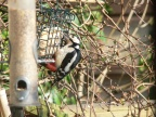 GreatSpottedWoodpecker 2