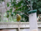 Greenfinch2 Medium