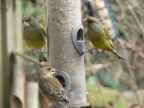 Greenfinches2