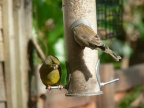 Greenfinches2 2